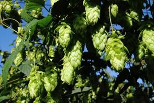 efect protector al siliciului conţinut de bere